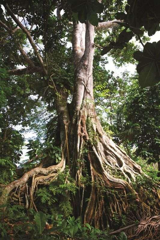 giant banyan tree found in vanuatu